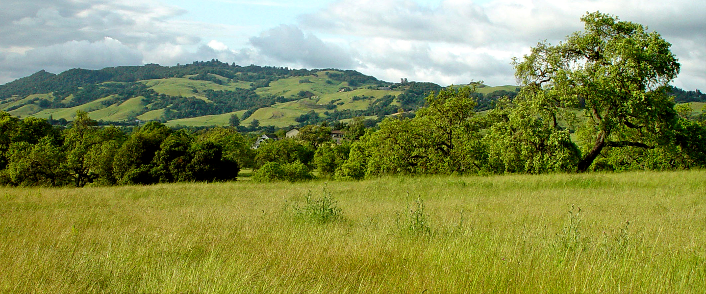 Sonoma hills, fields of green grasses, oak trees